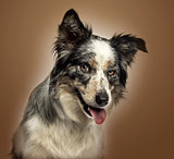 Close-up of a Border collie panting, with provocative look, on a