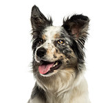 Close-up of a Border collie panting, looking away, isolated on w