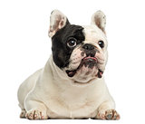 French bulldog lying, isolated on white