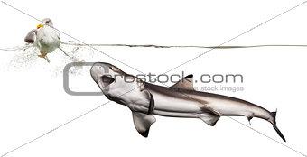 Blacktip reef shark hunting an European Herring Gull