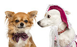 Jack russel wearing a hat looking at a chihuahua wearing a bow t