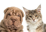 Close-up of a Maine coon kitten and Shar Pei puppy looking at th