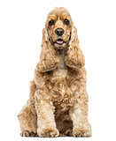 English Cocker Spaniel sitting, panting, isolated on white