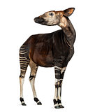 Okapi standing, looking away, Okapia johnstoni, isolated on whit
