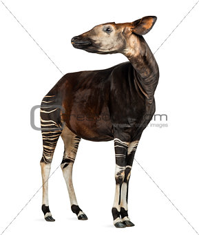 Okapi standing, looking away, Okapia johnstoni, isolated on whit