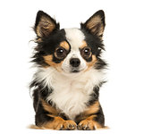 Front view of a Chihuahua lying, 4 years old, isolated on white