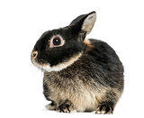 Dwarf rabbit, 1 year old, isolated on white