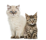 European shorthair and british shorthair kitten sitting and look
