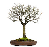 Zelkova bonsai tree, isolated on white