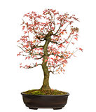 Trident Maple bonsai tree, Acer buergerianum, isolated on white