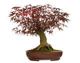 Japanese Maple bonsai tree, Acer palmatum, isolated on white