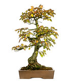 Korean Hornbeam bonsai tree, Carpinus turczaninowii, isolated on