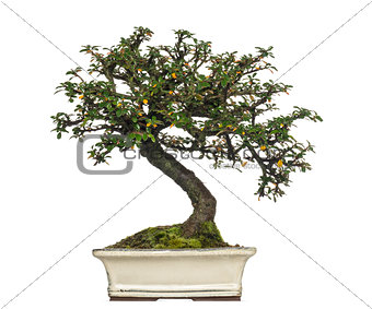 Cotoneaster horizontalis bonsai tree, isolated on white