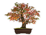 Acer japonicum bonsai tree, isolated on white