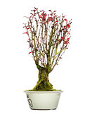 Berberis bonsai tree, isolated on white