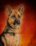 German Shepherd dog, on colored background