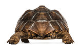 Rear view of an African Spurred Tortoise standing, Geochelone su