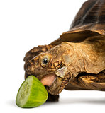 Close-up of an African Spurred Tortoise eating a bit of cucumber