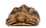 Front view of an African Spurred Tortoise, Geochelone sulcata, i