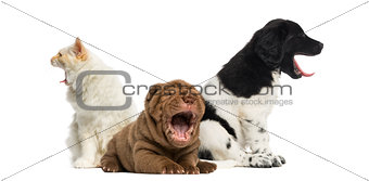 Cat and dogs yawning