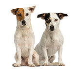 Two Jack russell terriers sitting and looking at the camera