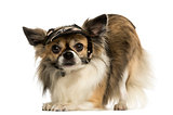 Chihuahua wearing a cap, bowing, isolated on white