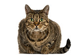 Front view of a European shorthair lying, looking at the camera,