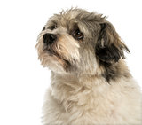 Close-up of a Crossbreed dog looking away, isolated on white