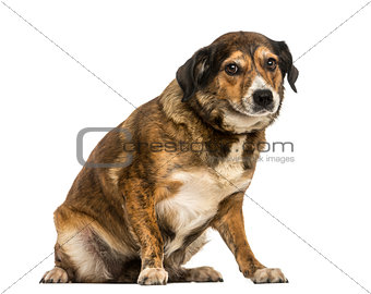 Crossbreed dog sitting, looking at the camera, isolated on white