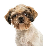 Close-up of a Shih tzu, looking at the camera, isolated on white