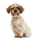 Shih tzu sitting, looking at the camera, isolated on white