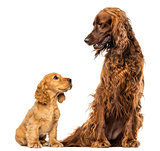 English Cocker spaniel puppy looking up at an Irish setter