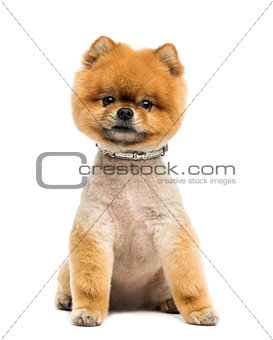 Groomed Pomeranian dog wearing a collar, sitting and looking at