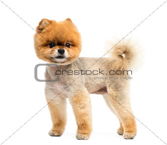 Groomed Pomeranian dog standing and looking away