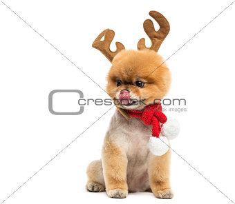 Groomed Pomeranian dog, wearing reindeer antlers headband and a