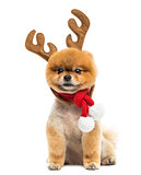 Groomed Pomeranian dog sitting and wearing reindeer antlers head