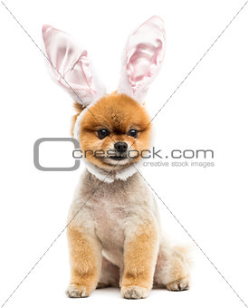 Groomed Pomeranian dog sitting and wearing rabbit ears headband