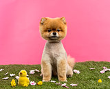 Groomed Pomeranian dog sitting in grass with flowers and chicks