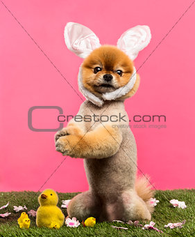 Groomed Pomeranian dog standing in grass on hind legs and wearin