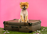 Grommed Pomeranian dog sitting on an old suitcase