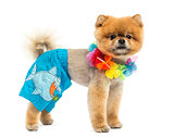 Groomed Pomeranian dog wearing shorts and a Hawaiian lei