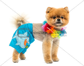 Groomed Pomeranian dog wearing shorts and a Hawaiian lei