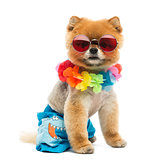 Pomeranian dog sitting, wearing shorts, Hawaiian lei, short, red