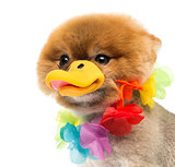 Pomeranian dog wearing Hawaiian lei and duck beak