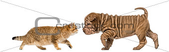 British shorthair kitten meeting a sharpei puppy