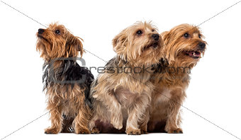 Three Yorkshire Terriers sitting and looking up