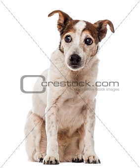 Old Jack Russell Terrier sitting and looking away