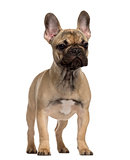 French Bulldog puppy standing and looking away