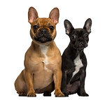 Two French Bulldogs sitting and looking at the camera