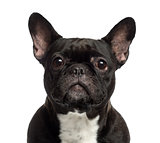Close-up of a French Bulldog looking